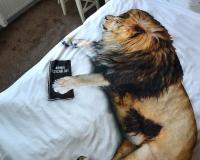 Löwen Bettwäsche nicht nur für Kinder