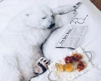 Eisbär schlafend auf Bettwäsche